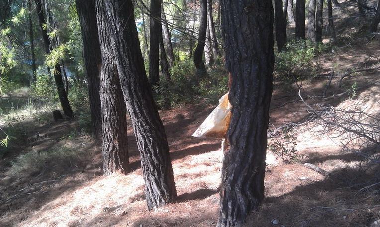 Название: Смола с сосен в Греции.jpg Просмотров: 183  Размер: 164.7 Кб