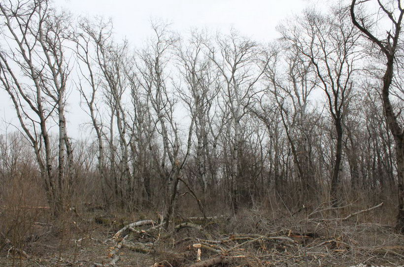 Название: 1- Тополя в лесу.JPG Просмотров: 217  Размер: 181.6 Кб