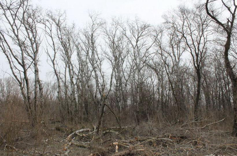 Название: 1- Тополя в лесу.JPG Просмотров: 543  Размер: 181.6 Кб